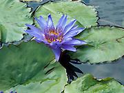 Purple Water Lily<br /> <br /> © Laurel Smith