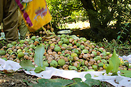 2/10/2012--Syagwez,Sulaimaniyah,Iraq-- All the collected walnuts are placed and prepared to be peeled.