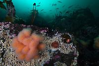 Dead man's finger, Alcyonium digitatum, and underwater scenery.Atlantic marine life, Saltstraumen, Bodö, Norway