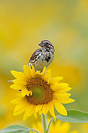 Song Sparrow on Sunflower
