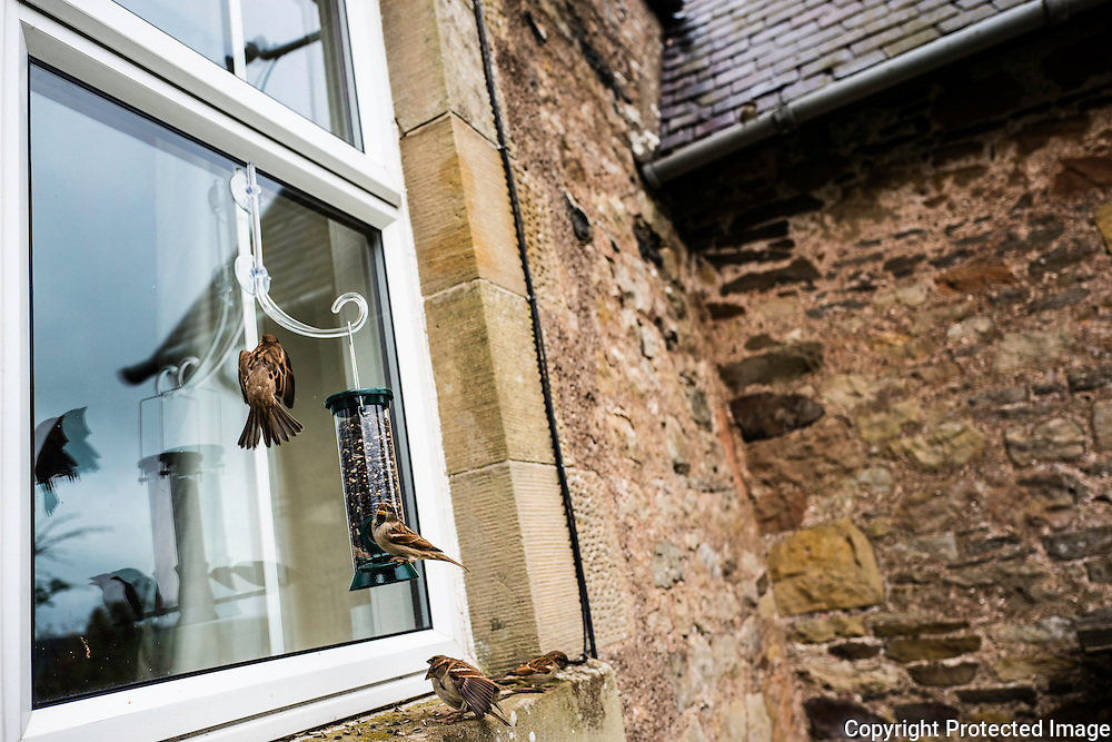 Jedburgh, Scottish Borders, UK. 20th October 2016. Buntings queue up to feed on seed from a bird feeder hanging from a cottage window in the Scottish Borders.