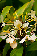 Yellow Ginger Flower, Hiking, Tanatalus, Oahu, Hawaii