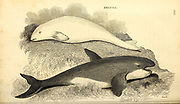 Beluga whale  (Delphinapterus leucas) from General zoology, or, Systematic natural history Vol II Part 2 Mammalia, by Shaw, George, 1751-1813; Stephens, James Francis, 1792-1853; Heath, Charles, 1785-1848, engraver; Griffith, Mrs., engraver; Chappelow. Copperplate Printed in London in 1801 by G. Kearsley