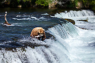 Perfect Catch - Brown Bear - Katmai National Park, Alaska: Brooks Falls is one of the best places in the world to watch brown bears because it is one of the first streams in the region where bright, energetic, and pre-spawned salmon are available to bears. In July, most salmon are moving through large rivers and lakes where bears cannot successfully fish. Early in the salmon run, Brooks Falls creates a temporary barrier to migrating salmon. This results in a particularly successful fishing spot for bears. Once salmon stop migrating in large numbers, Brooks Falls is no longer a good place to fish and bears quickly abandon that spot for better fishing elsewhere. Edition of 100 EXP0606