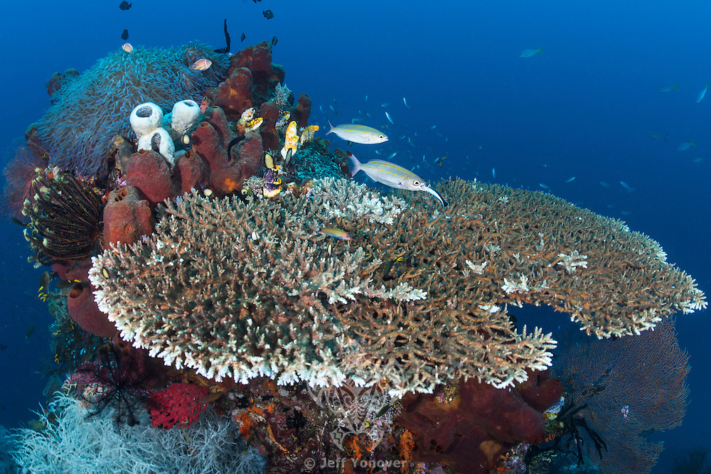 On a beautiful table coral, a Fusilier gets a very deep cleaning from a Wrasse<br /> <br /> Shot in Raja Ampat Marine Protected Area West Papua Province, Indonesia