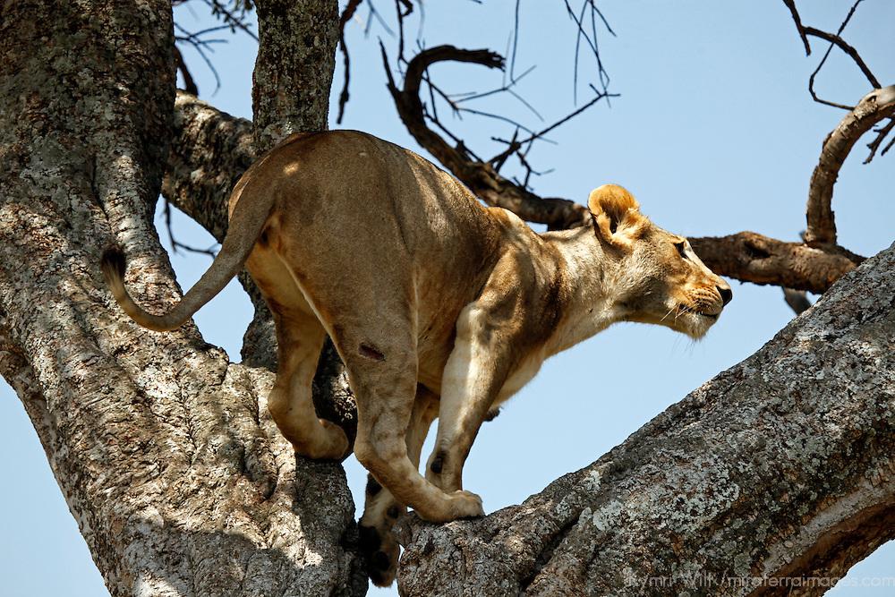 Africa, Kenya, Maasai Mara. A female lion climbing in a tree.
