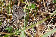 Cercyonis sthenele paulus - Great Basin Wood-Nymph