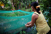 Nguyen Thi Tuyet, 38, feeds her frogs a selection of snails several times daily. Tuyet, with the assistance of local NGO Anh Duong, receives a small loan to maintain her business of raising and selling the frogs to local vendors as edibles. She must maintain the operation while her husband often travels in search of work. Hau Giang Province, Vietnam.