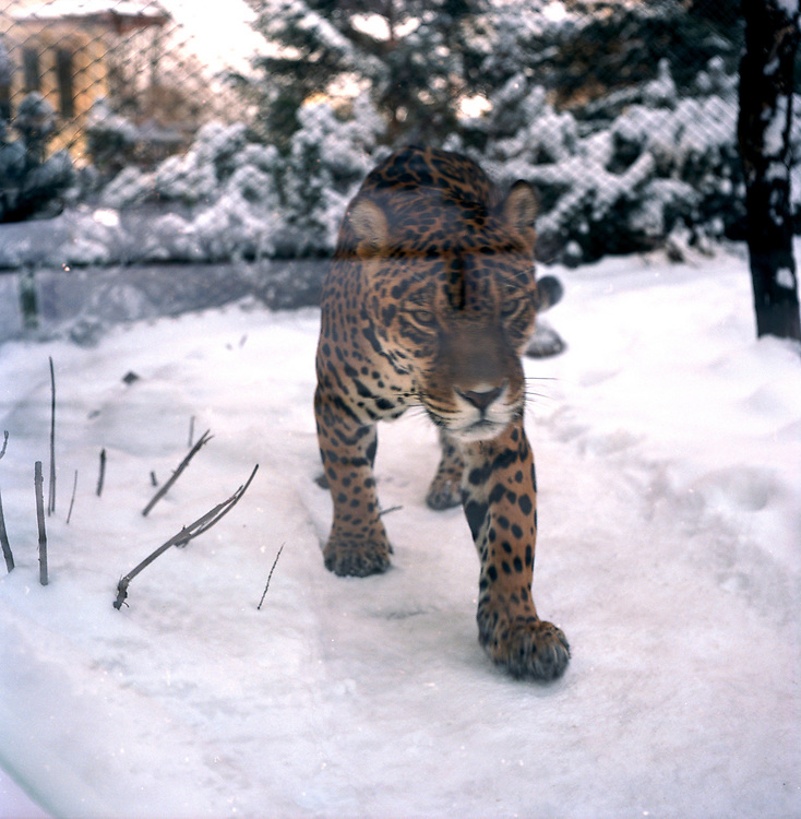 Warsaw Zoo, Poland, 18/12/2009. Panthera Onca (Linnaeus, 1758).