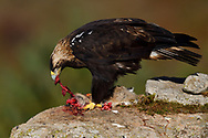 Iberian or Spanish Imperial Eagle, Aquila adalberti, eating a rabbit put out for it at a wildlife watching hide near El Barraco, Gredos Mountains, Ávila, Spain