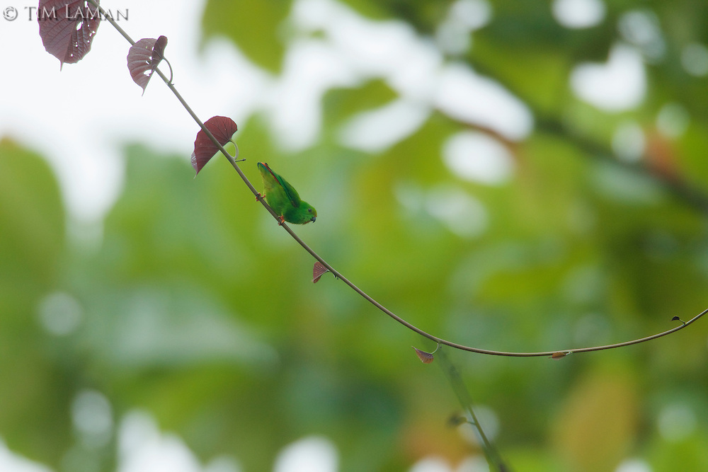 Moluccan Hanging-parrot (Loriculus amabilis) perched on a thin vine.
