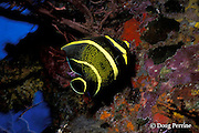 intermediate phase French angelfish, Pomacanthus paru, New Guinea Reef, St. Vincent or Saint Vincent, West Indies ( Eastern Caribbean Sea )