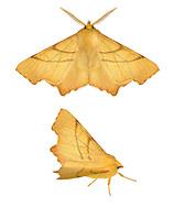70.236 (1915)<br /> September Thorn - Ennomos erosaria