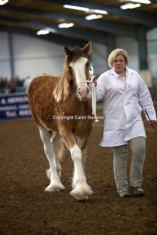 North West and Wales Shire Foal Society Show 2012 <br /> J W &amp; M McIntyre's Dovecote Ellie May   <br /> f 25/05/11   Sire  Doura Perception   Dam  Dovercote Daisy May<br /> 3rd Place Any Other Heavy Breed Yearling Class
