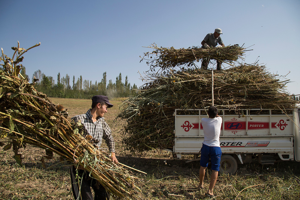 September 10, 2016 Ethnic Uzbek farmers from a village near the disputed Kasan-sai reservoir in south-west Kyrgyzstan, on the border of Uzbekistan's Fergana valley load dried sunflower stalks onto a truck. Climate change in Kyrgyzstan is affecting cross border water rights in the already ethnically divided Fergana Valley, all while glaciers melt in the Tian Shan Mountains. Tensions are rising as different groups compete for scarcer and scarcer resources.