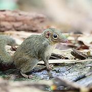The northern treeshrew (Tupaia belangeri) is a treeshrew species native to Southeast Asia.