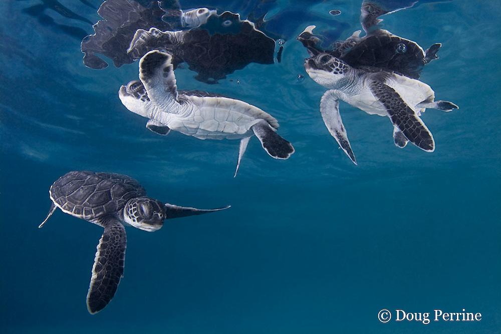 green sea turtle hatchlings, Chelonia mydas (c), Endangered Species, Caribbean