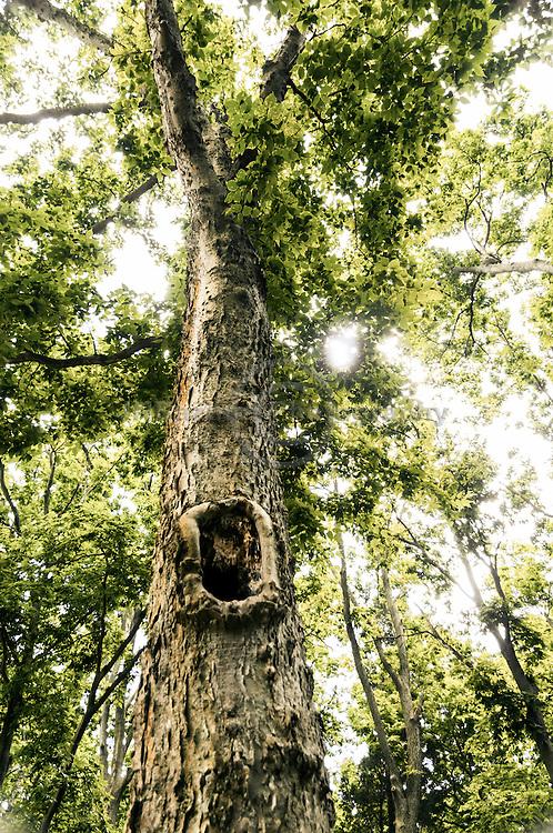 Large hole (hollow) in tall, beautiful mature tree on Pelee Island, Leamington ON Canada