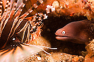 A white-eyed moray, Muraena thyrsoides, gets a close look at a zebra lionfish, Dendrochirus zebra, in the Philippines.