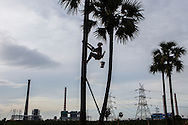 A toddy collector descends a palm tree adjacent to Meenakshi Energy Power Plant ( Left) and Simhapuri Power Plant (Right) at  Thamminapatnam, Andhra Pradesh, on Monday, June 15, 2015.Photographer: Prashanth Vishwanathan/Bloomberg