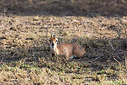 Steenbok in African habitat