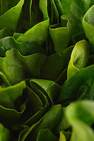 Lettuce, close-up
