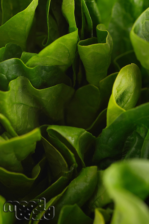 Lettuce, close-up