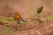 European Robin (Erithacus rubecula) on a pine tree, Photographed at the Ein Afek nature reserve, Israel in November