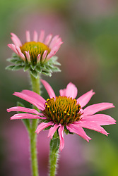 Echinacea 'Pixie Meadowbrite''