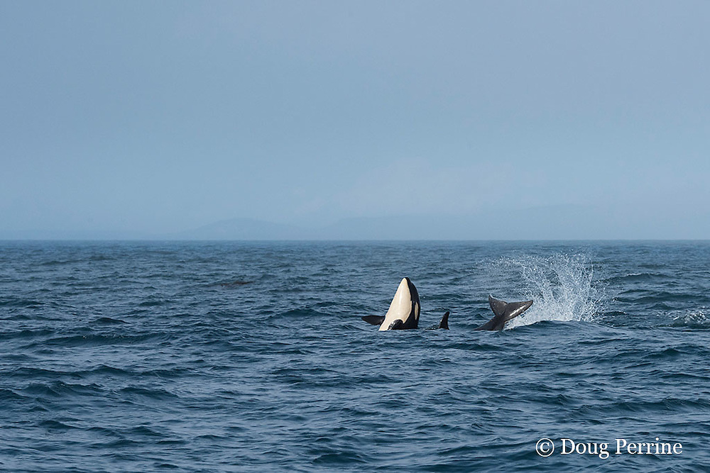 southern resident orca, or killer whale, Orcinus orca, spyhopping and tail-slapping, off southern Vancouver Island, British Columbia, Strait of Juan de Fuca, Canada