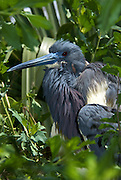 Tri-Colored Heron sitting on nest.