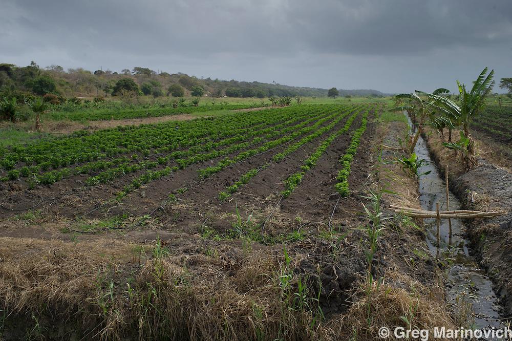 Elephant Pepper Farm, Marracuena, Mozambique. Sept 21, 2011. Birds Eye chillis near harvest. Photo Greg Marinovich/ Storytaxi