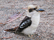 "A Kookaburra patrols Emu Park Holiday Park, in the beautiful Wartook Valley, in the Northern Grampians region, Victoria, Australia. The Laughing Kookaburra (Dacelo novaeguineae) is a carnivorous bird in the Kingfisher family (Halcyonidae). It is native to eastern mainland Australia and has also been introduced to Tasmania, Flinders Island, and Kangaroo Island. Kookaburra is a loanword ""guuguubarra"" (from the now extinct Aboriginal language Wiradjuri). Kookaburras (genus Dacelo) include four known species of large terrestrial kingfishers native to Australia and New Guinea, best known for their unmistakable call, like loud echoing, hysterical human laughter. They can be found in habitats ranging from humid forest to arid savanna, but also in suburban and residential areas near running water and food."