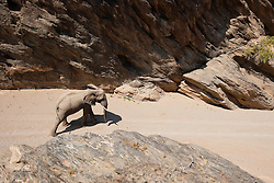 An aerial view of a desert adapted elephant bull (Loxodonta africana) cautiously walking through a narrow canyon to find a much needed water hole, Skeleton Coast, Namibia,Africa