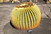 Cactus plants inside Jardin de Cactus designed by César Manrique, Guatiza, Lanzarote, Canary Islands, Spain - Cactaceae, Echinocactus grusonil, from San Luis de Potosi-Hidalgo, Mexico