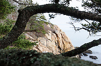 Twisting pine branches frame a view of the pink granite cliffs of Seal Harbor, Maine.