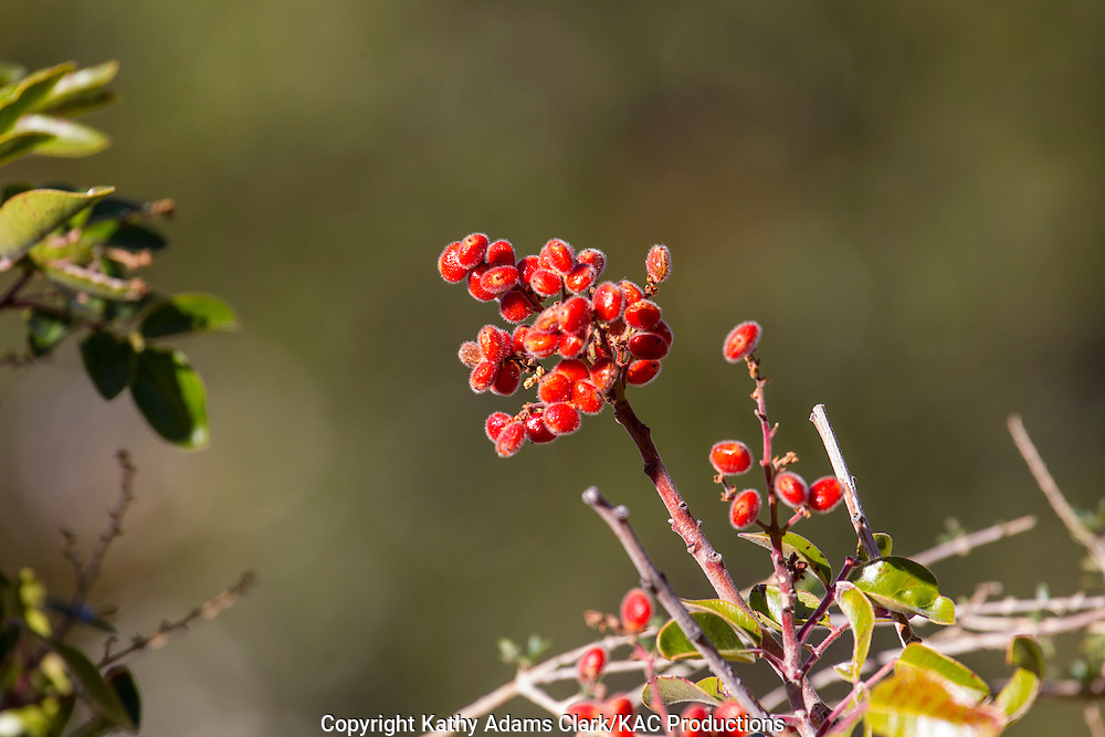 Evergreen sumac, Rhus virens,  Tobacco Sumac, Capulin, Lambrisco, Big Bend National Park, Texas, autumn