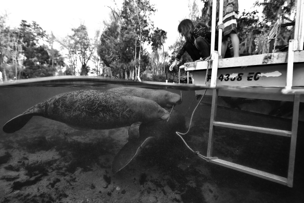 Under over portrait of two manatees interested in the rope of the tourist boats in Crystal River, FL.
