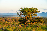 Impalas run past a tree in the African Savanna in early afternoon. Mountains are in the background