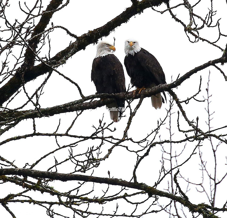 Two bald eagles, perched in a tree overlooking the Skagit River along The North Cascades Highway. December is a popular time to spot eagles along the river. <br />