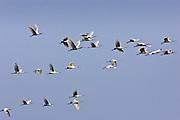 Flight of Spoonbills, Ars De Re, Ile de Re, France