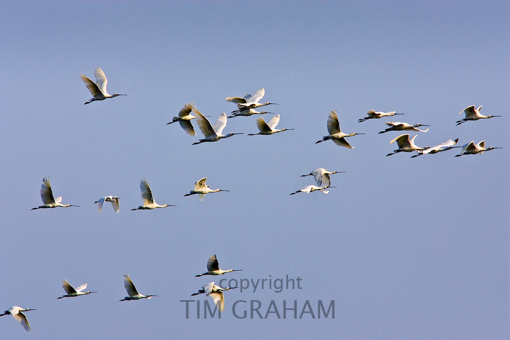 Flight of Spoonbills, Ars De Re, Ile de Re, France