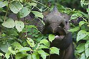 Sumatran Rhinoceros <br /> Dicerorhinus sumatrensis<br /> Eating vegetation<br /> Sumatran Rhino Sanctuary, Way Kambas National Park, Indonesia<br /> *Critically Endangered<br /> *Captive