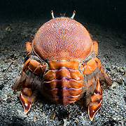 Rear view of a red frog spanner crab (Ranina ranina)
