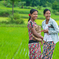 SHAN STATE , MYANMAR - SEP 06:  Burmese women working at a rice field in Shan state Myanmar on September 06 2017 Myanmar is the world's sixth largest rice producing country