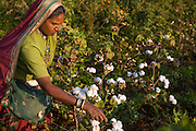Sheela harvesting organic cotton on their farm in  Sendhwa, India.<br /> <br /> Sheela and her husband, Manga, have recently converted to organic cotton farming with help from the Aga Khan Foundation who are working in partnership with the C&A Foundation.