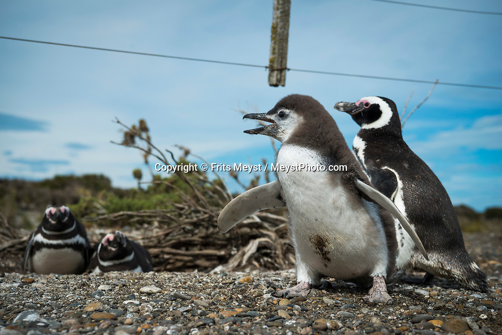 Rio Gallegos, Patagonia, Argentina, February 2016. Cabo Virgenes is one of the largest Magellanic penguin colonies in Argentina, with a current population of about 130,000 breeding pairs. It is also one of our long-term study sites, where we study population trends, breeding success, chick mortality and the effects of tourism. A 4x4 camper is one of the best vehicles to explore the wild interior of Southern Patagonia. Photo by Frits Meyst / MeystPhoto.com