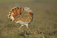 Great bustard, Extremadura, Spain