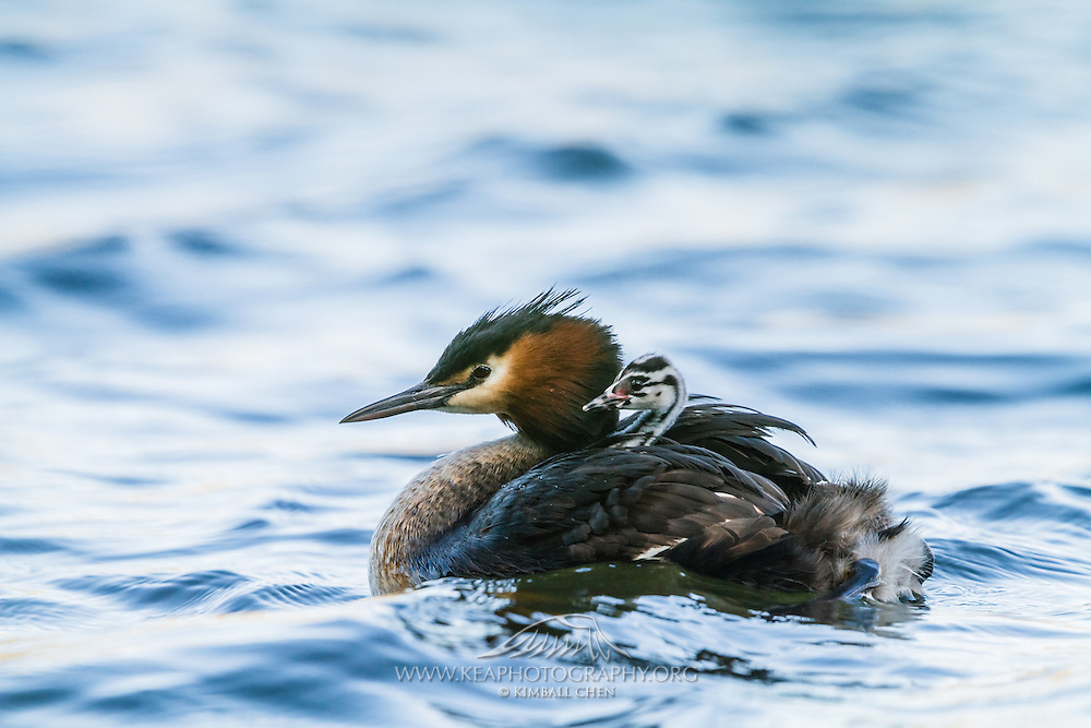 An Australasian Crested Grebe chick piggybacks on its parent.