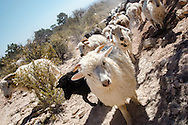 Goats and sheep march together through soaring temperatures on their way up to the Chuska Mountains.